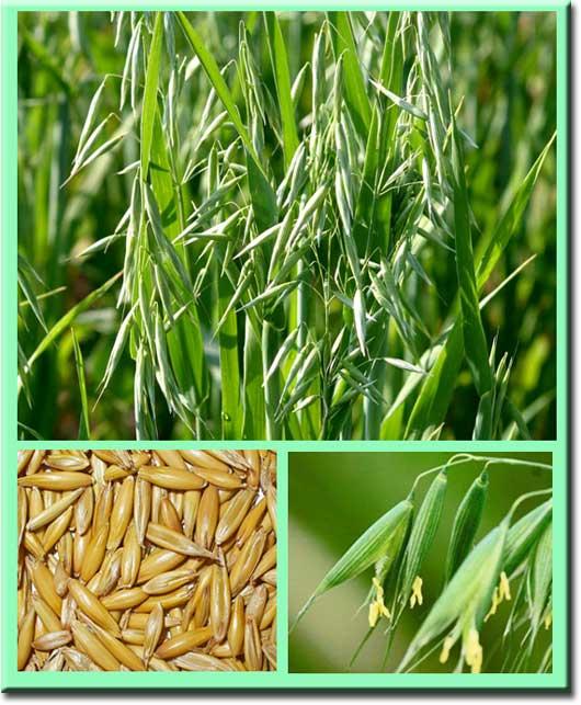 Лечение печени травами и народными средствами